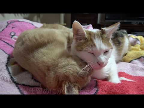 Cat Grooms By Pulling His Hair Out