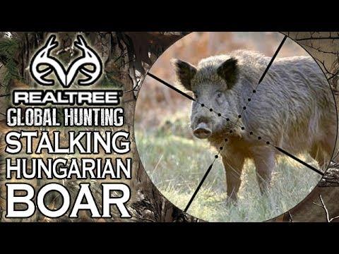Wild Boar Hunt In Hungary