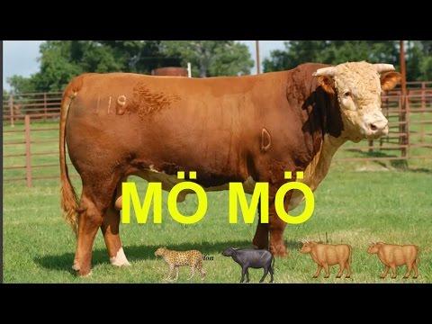 çocuklar için inek sesi