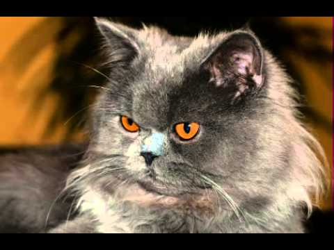 Persian Cat Facts - Facts About Persian Facts