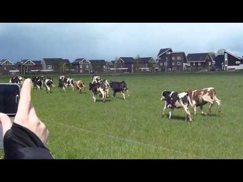 De koeien gaan los! @Uw Stadsboer Stadshagen Zwolle