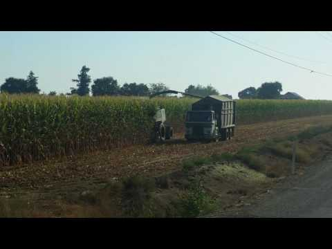 Harvesting corn for cattle feed.