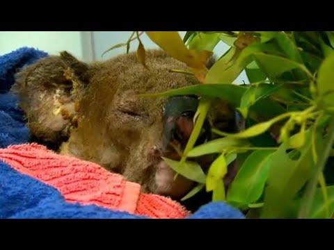 Rescued Koala 'Lewis' Dies From Bushfire Burns