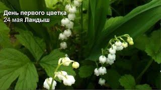 День первого цветка Май Ландыш