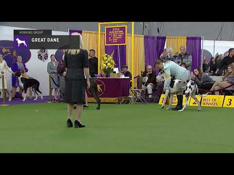 Great Danes | Breed Judging 2019