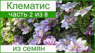 🌱 Выращивание клематиса из семян рассадой в саду
