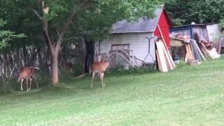 Deer on 3 legs