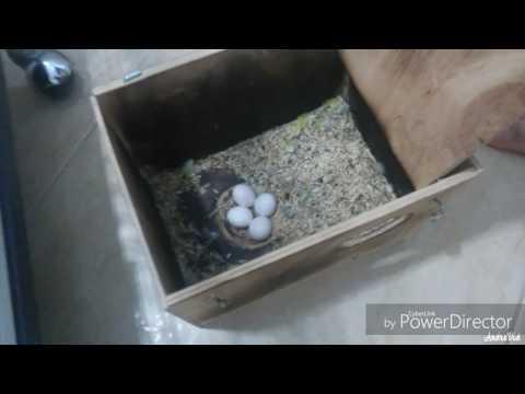 Попугаи неразлучники. Осмотр гнезд. Овоскопирование яиц.
