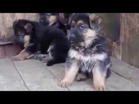 породы собак кутята