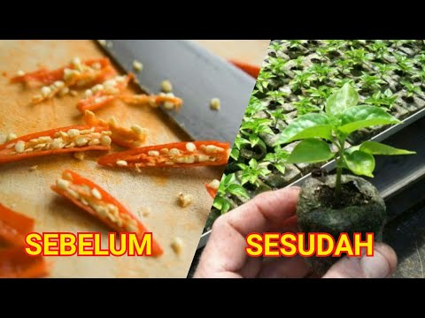 Cara Semai Cabe Rawit Anti Gagal Hanya 2 Hari Sudah Tumbuh Daun, Tanam Setelah Sprout