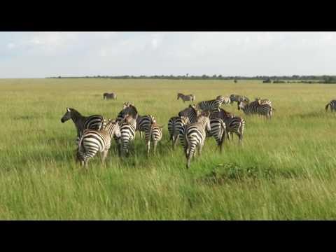 Chapman Zabras - Kenya - Game Drive - Masai Mara