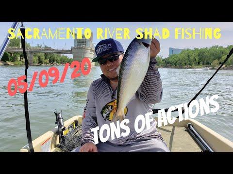 Sacramento River Shad Fishing (05/09/20)