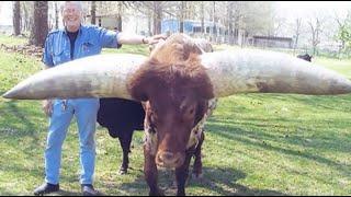 """村民养着一头""""长角牛"""",牛角长度近1米,出价30万主人也不肯卖!"""