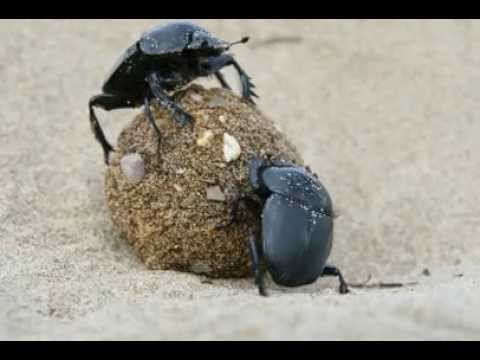 Dung Beetle Facts - Facts About Dung Beetles
