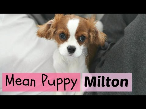 Mean Puppy   Milton the Cavalier King Charles Spaniel   Growling puppy