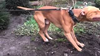 Rednose Pitbull Tug Of War Backyard Training