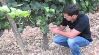 Ciclo Vegetativo de la Vid.wmv