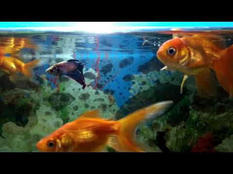 Betta(Fighter) And  Goldfishes In Same Tank.