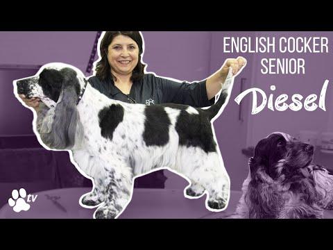 Kitty Talks Dogs: grooming Diesel the senior English Cocker | TRANSGROOM