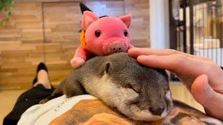 カワウソさくら 飼い主のお腹から降りられなくなったカワウソ otter that cannot get off from the owner's belly