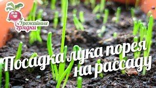 Посадка лука порея на рассаду #urozhainye_gryadki
