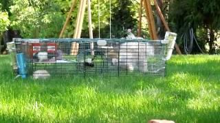 Rat, Guinea Pig, And Pomeranian Part 4