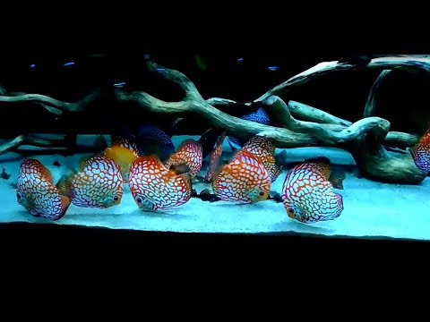 Gorgeous Discus Tank owned by Artur Emila Dąbrowscy