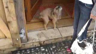 Border Terrier Daisy Dog Singing