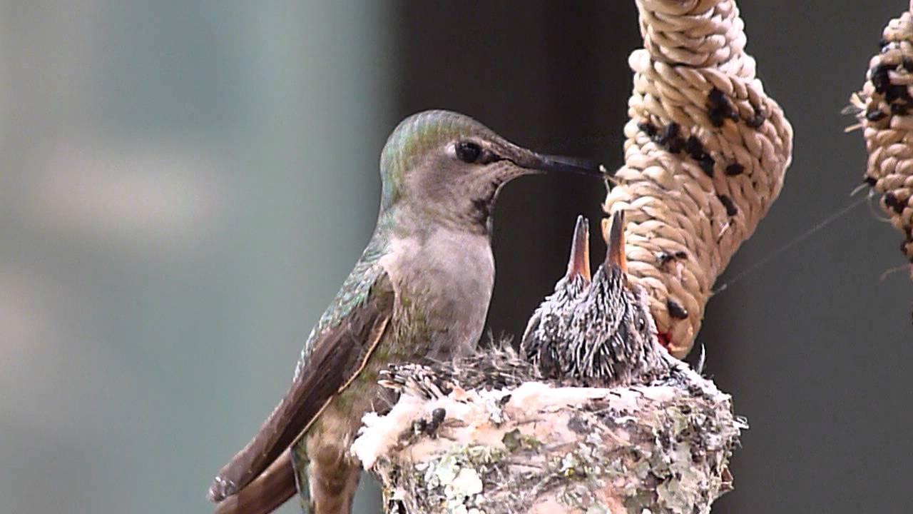 mother hummingbird feeding the kids youtube