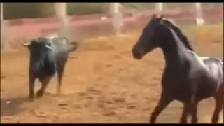 Horse VS Bull ,First time ever seen