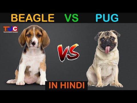BEAGLE VS PUG In Hindi : Dog Vs Dog : Dog Comparison : The Ultimate Channel