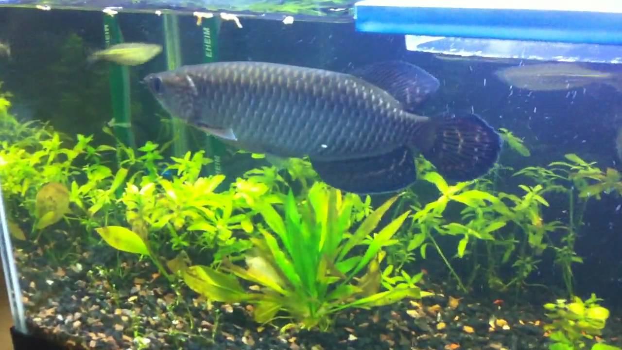 Big Fishes of the World: ARAWANA (Osteoglossum bicirrhosum) |Giant Arowana