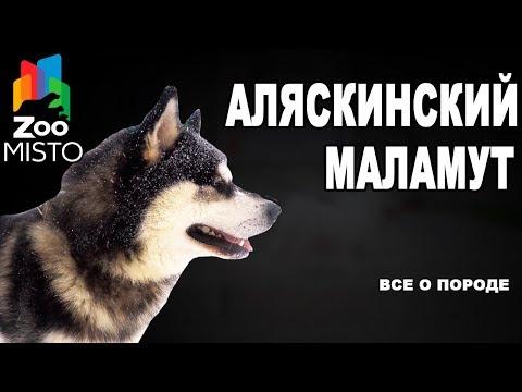 Аляскинский маламут - Все о породе собаки   Собака породы аляскинский маламут