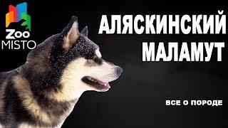 Аляскинский маламут - Все о породе собаки | Собака породы аляскинский маламут
