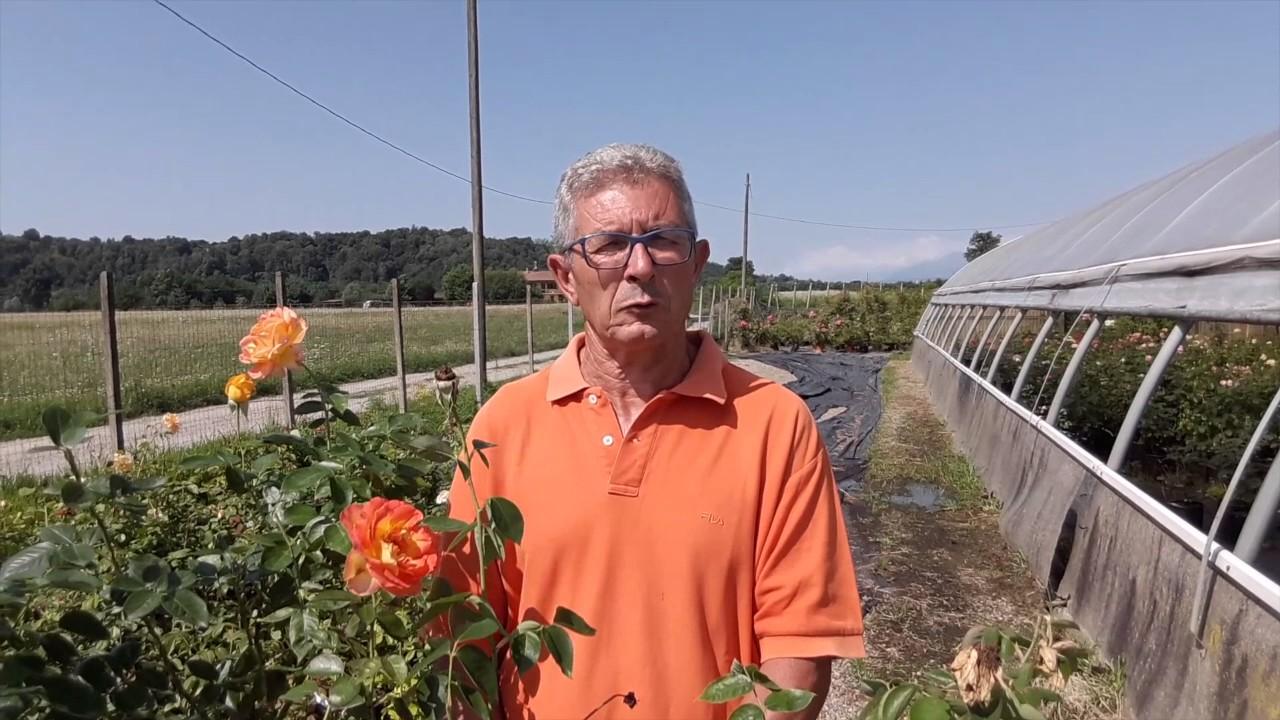 come eliminare i pidocchi dalle rose in modo naturale