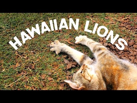 Hawaiian Lions - Lanai Cat Sanctuary, Lanai, Hawaii