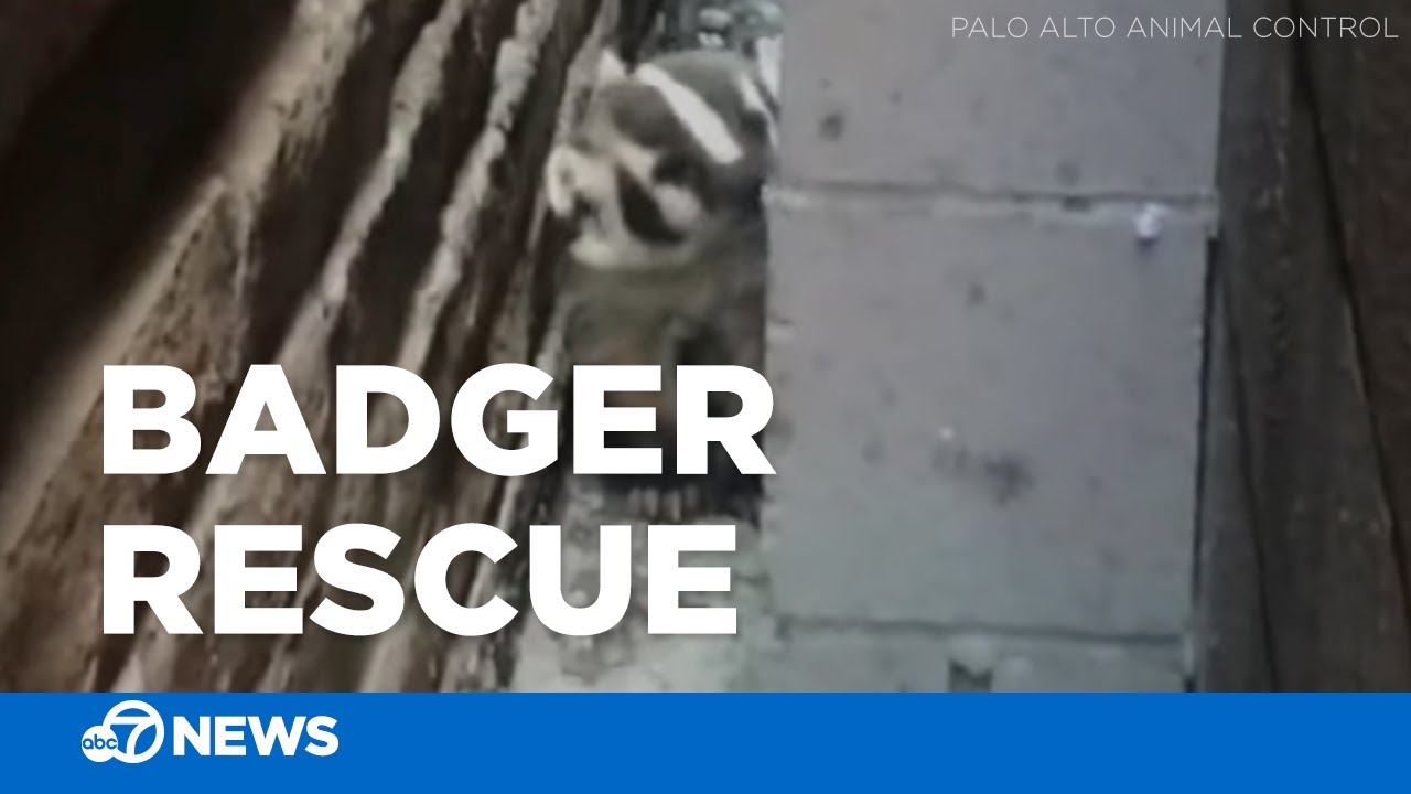 Badger found stuck between 2 buildings