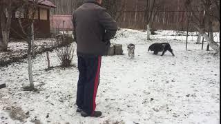 вахтельхунд, щенки, спаниель, охотничьи собаки
