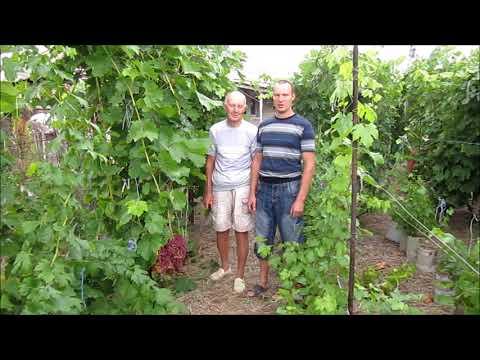 Гибридная форма винограда Велес