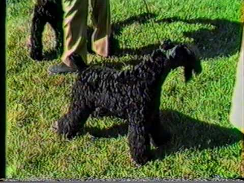 Kerry Blue Terriers Best of Breed Competitions, Devon KC & Montgomery County KC 1984