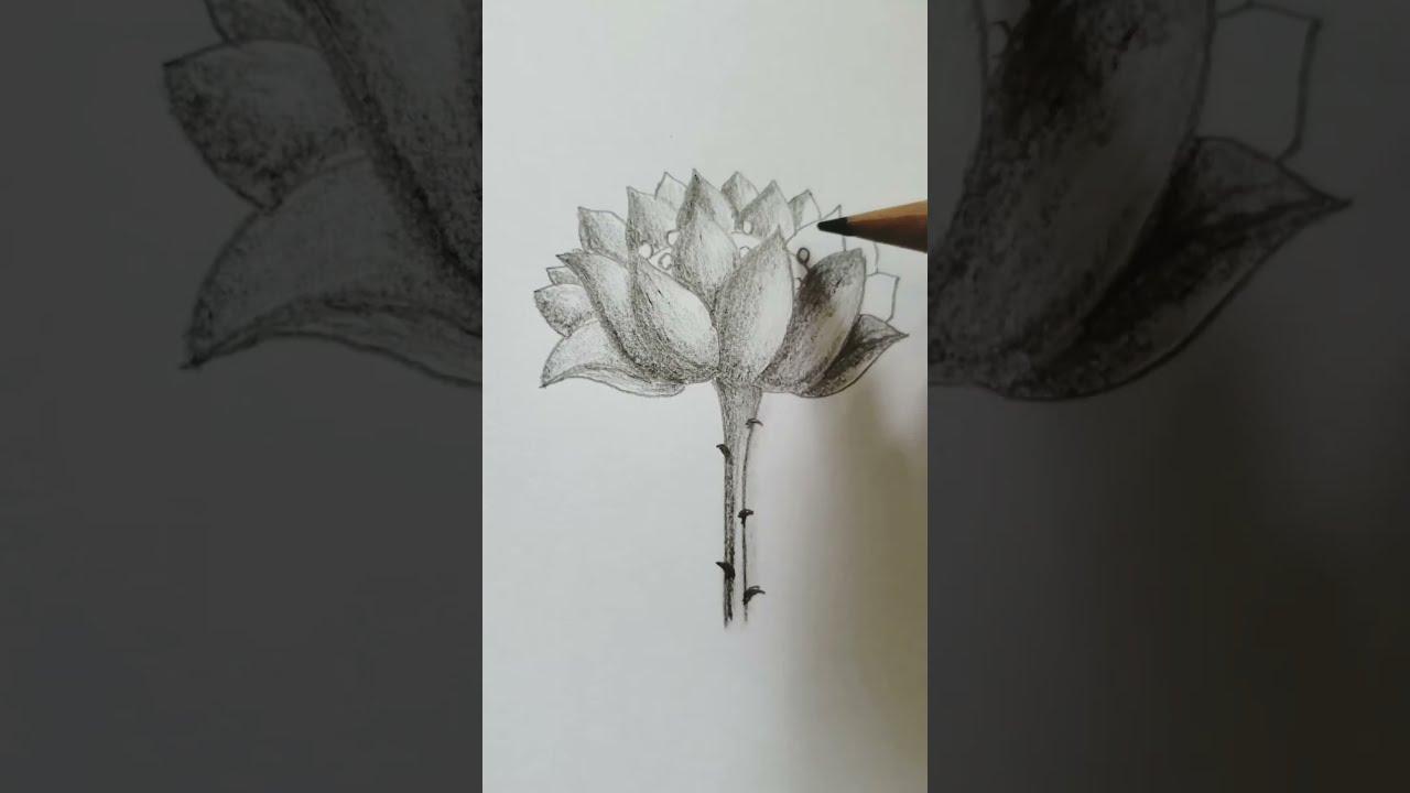 Vẽ hoa sen bằng bút chì/  Vẽ tranh bút chì đơn giản