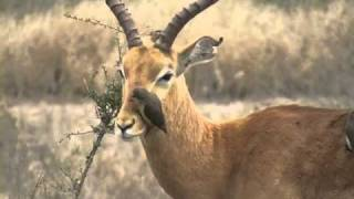 Killing Bird.Oxpecker KrugerPark