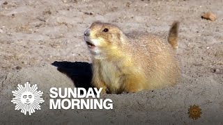 Nature: Prairie dogs in the Badlands