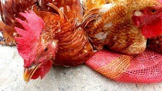 Tongi Live Chicken/Duck/Swan/Titir Market