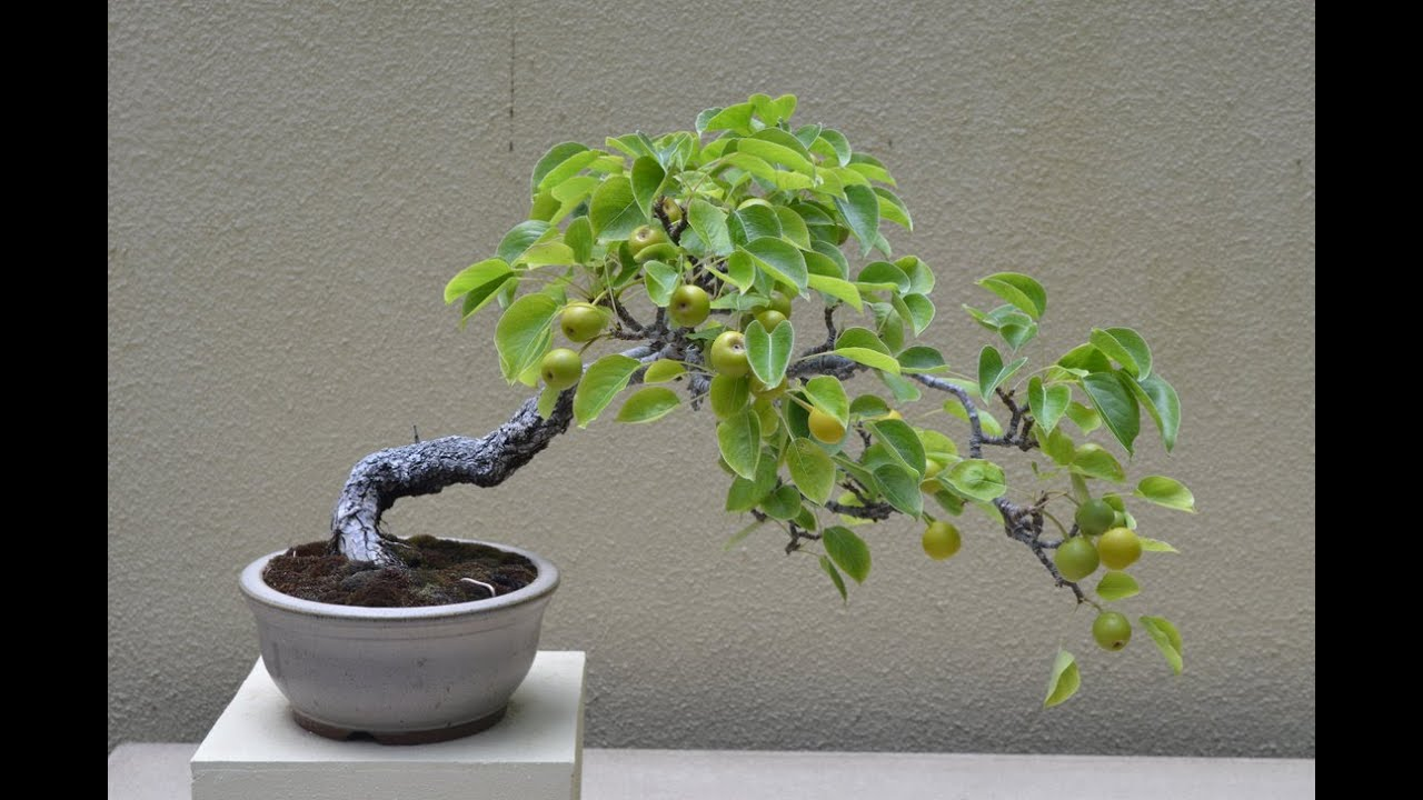Flowering Pear Bonsai Tree Pyrus Communis Youtube