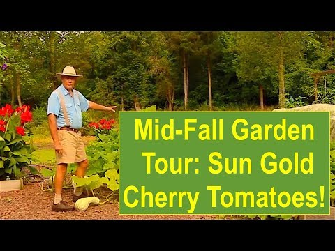 Mid-Fall Organic Garden Tour 2015: Indeterminate Sun Gold Cherry Tomatoes