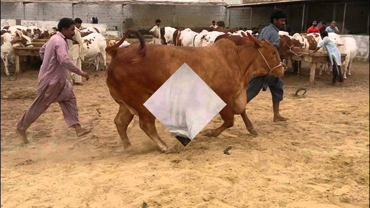 Dhoraji & Shahid Khan Afridi Cattle Farm Cows 2015