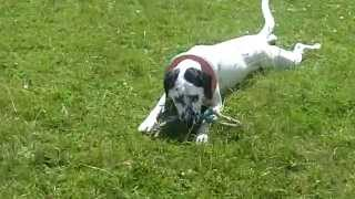 Dalmatian X Pointer Pheobe And Her Antics.