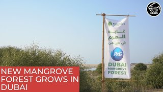 New mangrove forest grows in Dubai