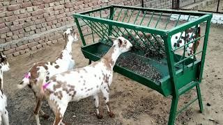 Barbari Goat Farm Videos - BBE News